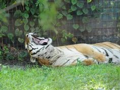 Bill to stop private ownership of big cats
