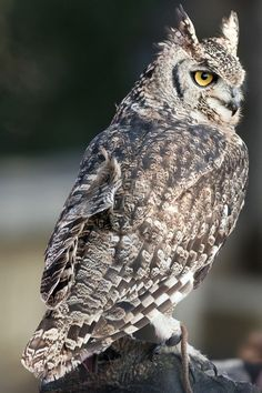 Spotted Eagle Owl // Grand-duc africain -