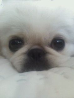 can't help but love this face, pekingese