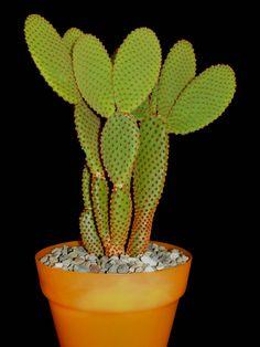 Opuntia microdasys ssp rufida