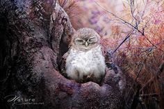 Spotted Owlet 4 by Sasi - smit, via 500px
