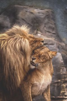 If you Love Lions, You Must Check The Link In Our Bio 🔥 Exclusive Lion Related Products on Sale for a Limited Time Only! Tag a Lion Lover! 📷:Please DM . No copyright infringement intended. All credit to the creators. Beautiful Cats, Animals Beautiful, Beautiful Couple, Animals And Pets, Cute Animals, Lion Couple, Gato Grande, Lion Quotes, Lion And Lioness