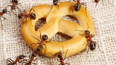 Оказалось, что муравьи никуда уходить не собираются. Копошащихся муравьишек начали находить в мешках с сахаром, которые стояли у нас в кладовке. Когда живёшь в своём доме с большим садом и огородом, всегда нужно делать запасы на зиму из своих фруктов и овощей. Поэтому в кладовой сахар и соль у нас стоят мешками. И вот там, набирая периодически сахар в сахарницу, стали замечать насекомых. Потом в хлебнице стали ползать. А ещё немного времени спустя уже по столам на кухне. И это нам уже.... Banana, Fruit, Food, Essen, Bananas, Meals, Fanny Pack, Yemek, Eten