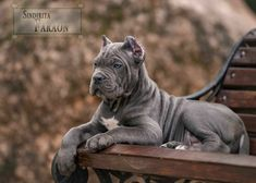 Some of the things we admire about the Loving Big Mastiff Dogs Chien Cane Corso, Cane Corso Dog, Cane Corso Puppies, Cane Corso Italian Mastiff, English Mastiff Puppies, Mastiff Breeds, Mastiff Dogs, Giant Dog Breeds, Giant Dogs