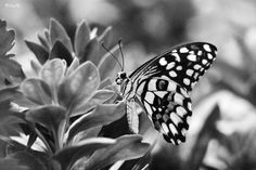 Black and white butterfly by Lana Hussain