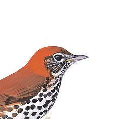 Wood Thrush. Painted and © by David Sibley