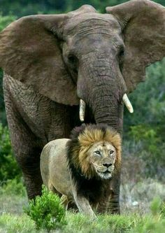 Awesome shot. Male lion and male elephant