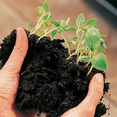 Plant seedlings or seeds in your straw bale garden?