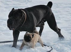 Pug &  Cane Corso. Oh my goodness this reminds me of my parent's pug Max and our Cane Vinny. They are best friends. So cute!
