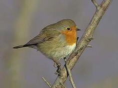 Rödhake, Erithacus rubecula - Fåglar - NatureGate