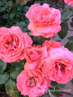The classic orange red, hybrid tea rose known for its fragrance, Fragrant Cloud as it looks in the garden tonight.