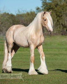 Gypsy Horses All the Time — Gypsy Vanner Horse filly . Big Horses, Cute Horses, Pretty Horses, Show Horses, Black Horses, Caballos Clydesdale, Clydesdale Horses, Breyer Horses, Draft Horses