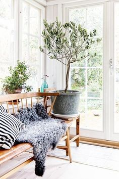 Indoor Olive Trees only needs to be watered when the top inch of soil has dried out making them super easy to maintain.