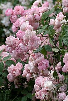 raubritter rose   Raubritter' rose   Pic. Flowers   Pinterest