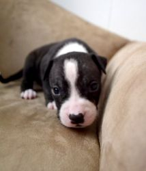 Midnight is an adoptable American Bulldog Dog in Colleyville, TX. As a promise to Renny, I will be aiding in find responsible forever homes for all the puppies. They American Bulldog/American Pitbull ...