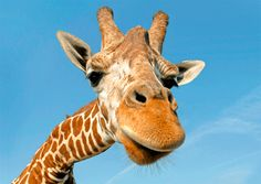 Giraffes only need 5 to 30 minutes of sleep in a 24-hour period.