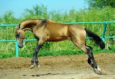 #horse #akhal #teke #greys