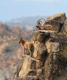 The Alpine Ibex - jalal shreef, Northern Areas, Pakistan