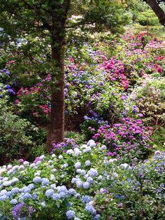 Hydrangeas Botanical Gardens Wellington New Zealand