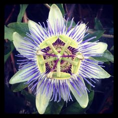 passion flower, i have these in my back yard. they really are that pretty. (: