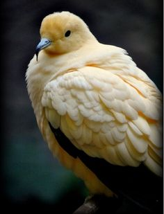 Pied Imperial Pigeon. Beautiful butter cream color.