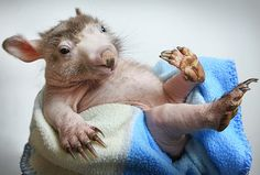 Shrek the hairless wombat, who lost his hair due to a fungal condition caused by poor diet and the stress of being orphaned, is seen at the Maryknoll Wildlife Shelter, Melbourne, Australia