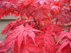 The Japanese maple, or Acer palmatum, is an ornamental tree prized for its bark, form and foliage of various shapes and colors. Most Japanese maple cultivars are small trees that feature brilliant leaf colors in spring and fall. Chinese Maple Tree, Red Maple Tree, Maple Leaves, Japanese Maple Varieties, Dwarf Japanese Maple, Specimen Trees, Acer Palmatum, Shade Plants, Shade Flowers