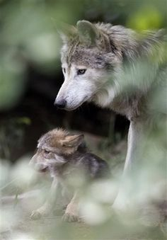 Wolf and pup