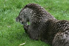 Otter eating a fish Otters, Owl, Fish, Projects, Animals, Log Projects, Blue Prints, Animales, Otter