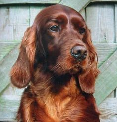 I had an Irish Setter named Ripley from the time he was 7 weeks old until my husband and I divorced when Ripley was almost 11 years old. Took him to obedience school twice. Very well trained.(Patty)Irish Setter