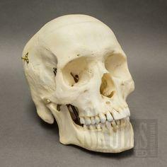 Real Human Skull (Homo sapiens) | $1850.00 spring loaded jaw