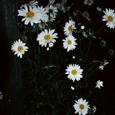 Daisies in the night