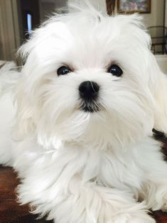 Maltese Our sweet girl Coconut Cute Puppies, Cute Dogs, Dogs And Puppies, Doggies, Puppy Care, Pet Puppy, Perro Shih Tzu, Animals And Pets, Cute Animals