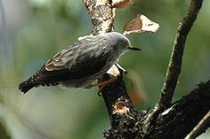 La neosita variable (Daphoenositta chrysoptera)2 es una especie de ave paseriforme de la familia Neosittidae que habita en Australia y Nueva Guinea.