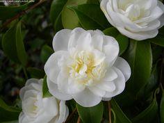 Camellia japonica 'Jasmim' (Portugal, before 1900)