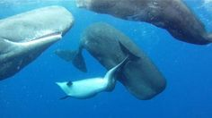 Sperm Whales Adopt Deformed Bottlenose Dolphin