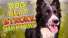 Heat stroke in dogs is a deadly killer. Knowing the 5 main symptoms of an overheated dog might just save their life! Dog Heat, Heat Stroke In Dogs, Dog Seizures, Pet Dogs, Pets, Summer Dog, Body Systems, Health Articles, Bad News