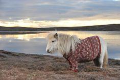 Adorable Shetland Ponies in Sweaters Promote Scotland - My Modern Metropolis
