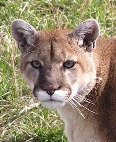 one of the mountain lions at the nature center in red lodge