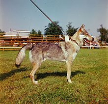 The Czechoslovakian Wolfdog,[1](sk. Československý vlčiak, cz. Československý vlčák) is a relatively new dog breed that traces its original lineage to an experiment conducted in 1955 in Czechoslovakia. After initially breeding working line German Shepherd Dogs with Carpathian wolves (Canis lupus lupus), a plan was worked out to create a breed that would have the temperament, pack mentality, and trainability of the German Shepherd Dog and the strength, physical build, and stamina of the…