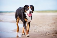 Just like his Bernese Mountain Dog cousin, the Greater Swiss Mountain Dog is a gentle giant that makes a great family companion. Weighing in around 100-155lbs., this breed gets his size from his original purpose as an all-duty farm dog. Read more at http://theilovedogssite.com/10-giant-dog-breeds-that-are-big-softies/#Lsiy6wrUp6WCpzXS.99