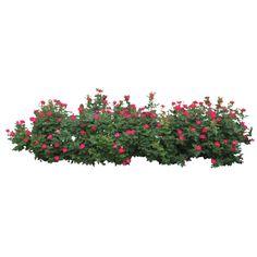 Rose-Bush.png