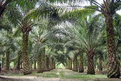 Palm Oil: The Federal Council wants mandatory declaration