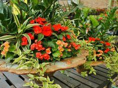 begonia, impatiens, ivy