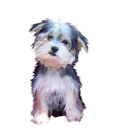 As the #Morkie is not a purebred dog, their personalities vary from dog to dog. They are usually loving, affectionate and cuddly - true lap dogs. Morkies are small and tend to have few exercise needs which make them perfect pets for an urban household. They can be attention-seekers and demanding.