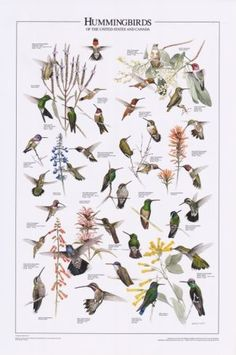 pictures of hummingbirds and warblers   Bird Poster: Hummingbirds of U.S. & Canada   Bird Identification ...