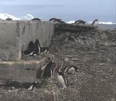 wild penguin cams