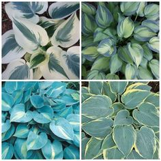 6 lessons about hosta