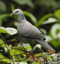 The Nilgiri Wood Pigeon (Columba elphinstonii) is large pigeon found in the moist deciduous forests and sholas of the Western Ghats in southwestern India.