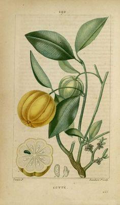 img/dessins-gravures de plantes medicinales/gutte, gomme-gutte.jpg